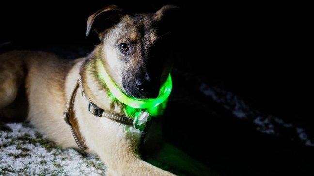 Des joyaux abordables : 55 idées de cadeaux de Noël bon marché - Collier lumineux pour chien